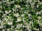 star-jasmin-large-content